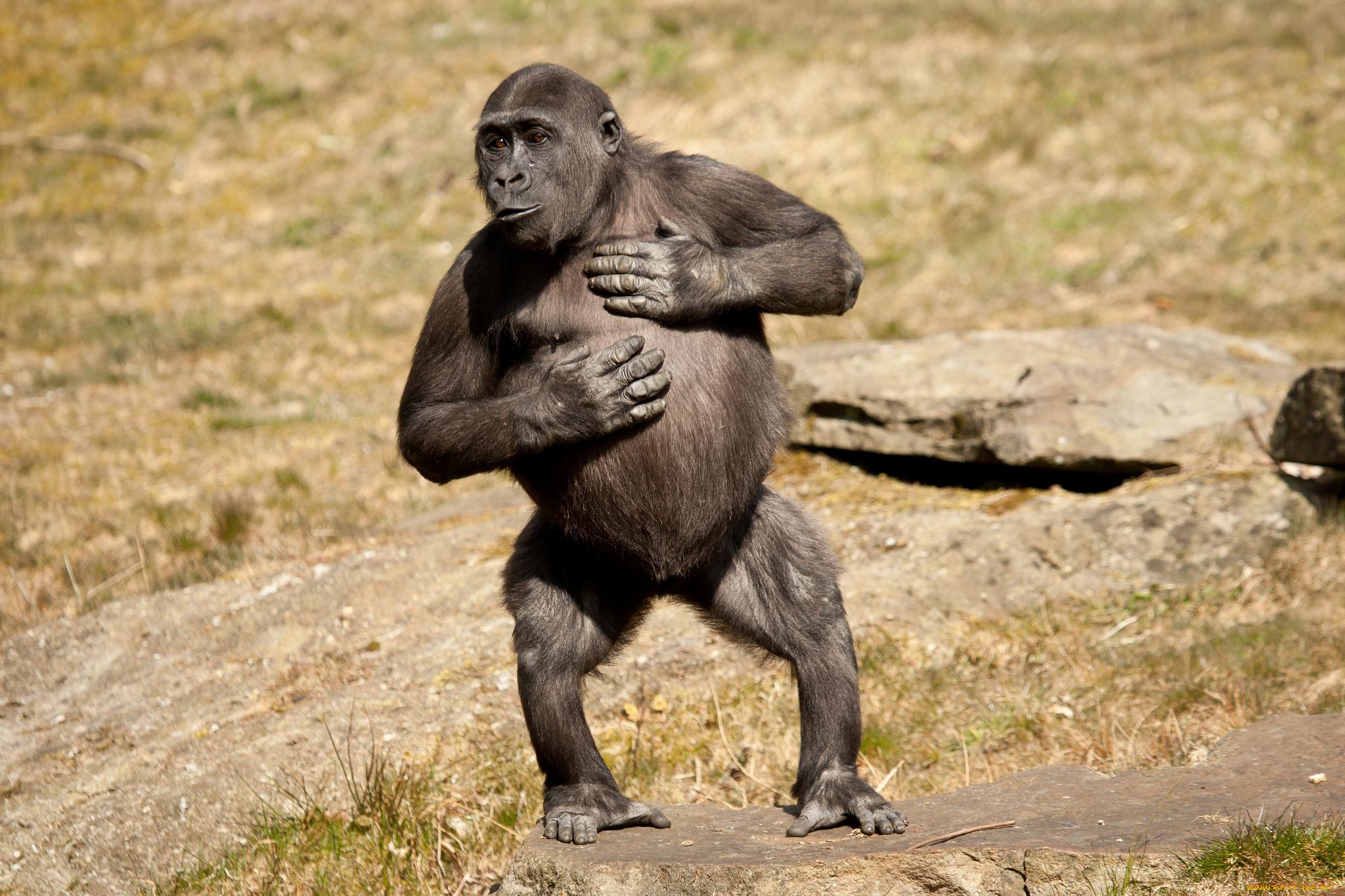 автомобиль картинки гориллы приколы время погони убийца